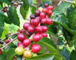 Red Kona coffee cherries during harvest time.